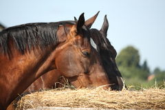 Two bay horses eating hay at the pasture Stock Photo