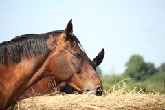 Two bay horses eating hay at the pasture Royalty Free Stock Photography