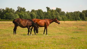 Two bay horses on the grass stock video