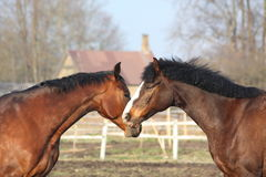 Two bay horses playing Royalty Free Stock Photo
