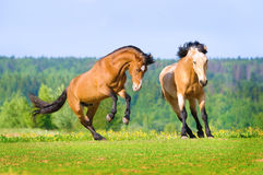 Two bay horses playing on the meadow Stock Photos