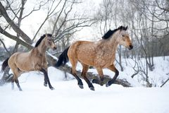 Bay horses running gallop in winter forest Royalty Free Stock Photos