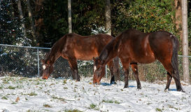 Two Bay Thoroughbred Horses Grazing in Snow Royalty Free Stock Image