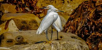 Birds. Two beach birds keeping a lookout for fish over at RAT Beach in Palos Verdes royalty free stock photography