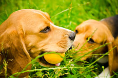 Two beagle Royalty Free Stock Images