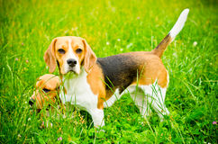 Two beagle Royalty Free Stock Image
