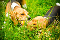 Two beagle Royalty Free Stock Photography