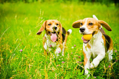 Two beagle Stock Image