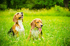 Two beagle Royalty Free Stock Photo