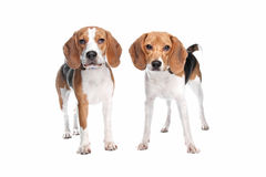 Two beagle dogs Stock Image