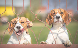 Two Beagle dogs Stock Photo