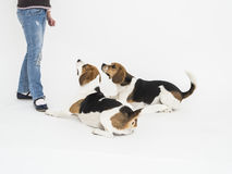 Two beagle dogs lying at girl's feet Royalty Free Stock Images