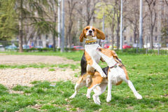 Two beagle dogs in park playing and jumping with ears lifted Royalty Free Stock Photo