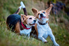 Two Beagle dogs playing. Two Beagle dogs running and playing in the grass on a rainy day Royalty Free Stock Images