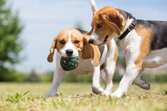 Two Beagle dogs playing. With one toy Royalty Free Stock Photography