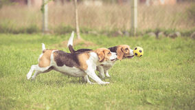 Two Beagle Dogs in run Stock Images