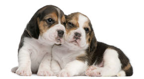 Two Beagle Puppies, 1 month old, Stock Photos