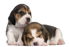Two Beagle Puppies, 1 month old. In front of white background Royalty Free Stock Image