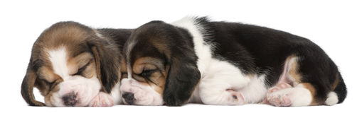Two Beagle Puppies, 1 month old, lying. In front of white background Stock Photos