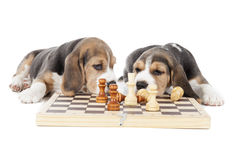 Two beagle puppies playing chess Stock Photo