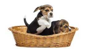 Two Beagle puppies playing in a wicker basket, isolated Stock Image