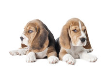 Two beagle puppy Royalty Free Stock Image