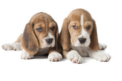 Two beagle puppy Royalty Free Stock Photography
