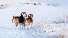 Two Beagles Stock Photo