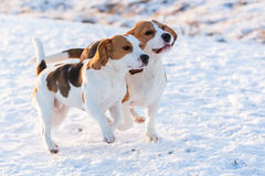 Two Beagles. Two Beagle walking in the snow stock image