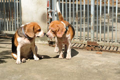 Two beagles are loving, amatory Royalty Free Stock Image