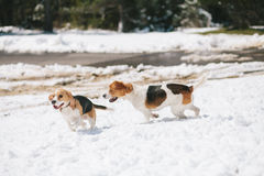 Two beagles playing in snow Stock Image