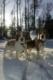 Two beagles in winter Royalty Free Stock Photos