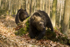Two bear cubs Stock Photography