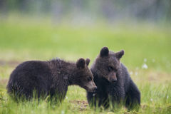 Two bear cubs Stock Photo