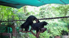 Two bearcat on a rope eats from bowls. Khao Kheow stock footage