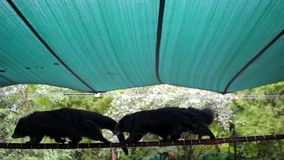 Two bearcat walks on the rope for each other. Khao Kheow stock video footage