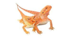 Two bearded dragon. On white background royalty free stock images