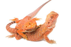 Two bearded dragon mating Royalty Free Stock Images