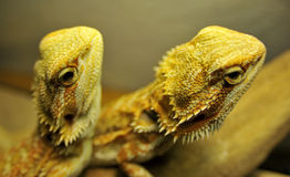 Two Bearded Dragon Up Close Stock Photos
