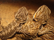 Two bearded dragon wearing. Small bearded dragon wearing and looking Stock Photos