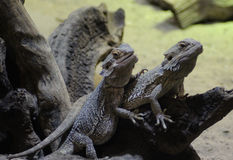 Two bearded dragons Royalty Free Stock Photography