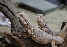 Two bearded dragons Royalty Free Stock Photos