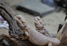 Two bearded dragons. Bearde dragons sitting on a tree under the heat lamp. Foto taken in Amersfoort zoo in the Netherlands Royalty Free Stock Photos