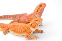 Two bearded dragons pogona vitticeps isolated. On white background Stock Image