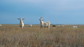 Two bearded goats with large horns have moved away from a free-range grazing herd, stand to side, chew grass and look
