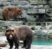Two Bears. Two brown bears. Buffalo Zoo royalty free stock images
