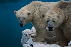 Two bears. A couple of playful white bears are playing around Stock Images
