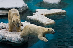 Two bears. A couple of playful white bears are playing around stock photography