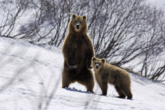 Two bears Stock Photography