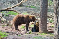 Two bears. Love of two bears in the forest Royalty Free Stock Image